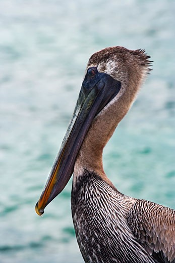 Stock Photo: 1828R-30265 Pelican