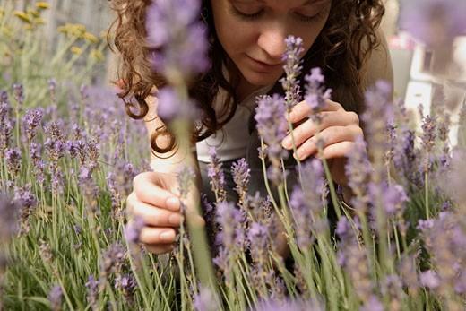 Woman in Lavender Field    : Stock Photo