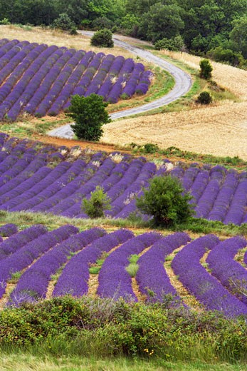 Stock Photo: 1828R-32753 Lavender Field, Puimichel, Provence, France