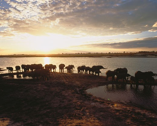 Stock Photo: 1828R-3485 Herd of Elephants on Chobe River Bank at Sunset, Botswana