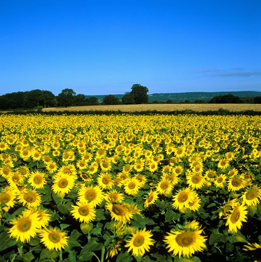 Stock Photo: 1828R-36853 Sunflower Field, Bourgogne, France