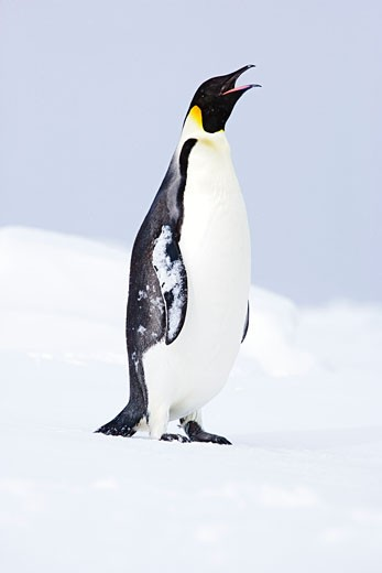 Portrait of Emperor Penguin    : Stock Photo