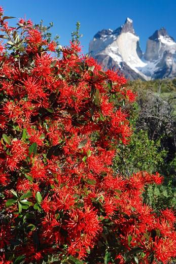 Stock Photo: 1828R-37131 Chilean Firebush, Torres del Paine National Park, Chile