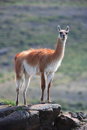 Stock Photo: 1828R-37133 Guanaco in Torres del Paine National Park, Chile
