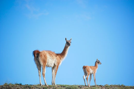 Stock Photo: 1828R-37135 Guanacos in Torres del Paine National Park, Chile