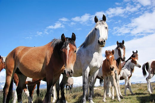 Stock Photo: 1828R-37148 Horses in Torres del Paine National Park, Chile