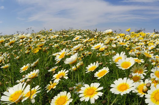 Stock Photo: 1828R-37635 Field of Crown Daisies