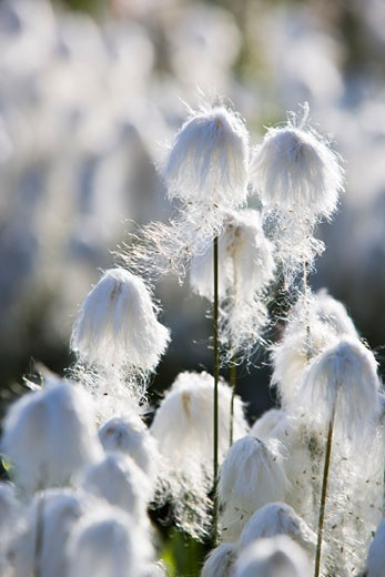 Stock Photo: 1828R-38136 Cotton Grass, Iceland