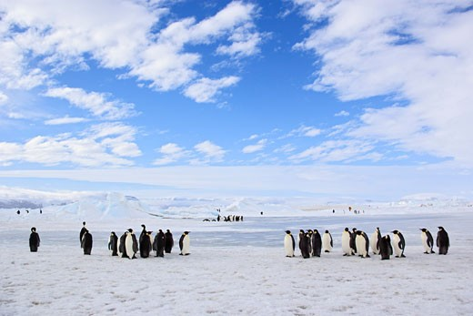 Stock Photo: 1828R-38184 Emperor Penguins, Snow Hill Island, Antarctica
