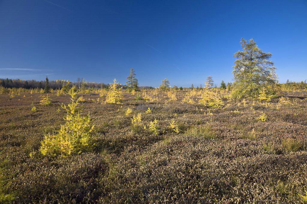 Stock Photo: 1828R-38386 Tamarack Trees in Bog, Mer Bleue Conservation Area, Ottawa, Ontario, Canada