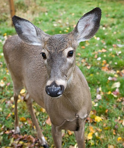 Stock Photo: 1828R-38390 White-Tailed Deer, Chelsea, Quebec, Canada
