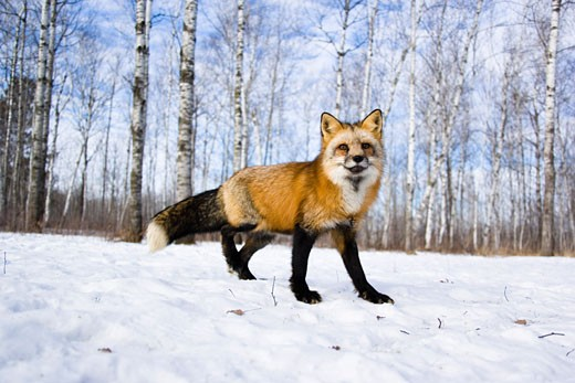 Portrait of Red Fox, Minnesota, USA    : Stock Photo