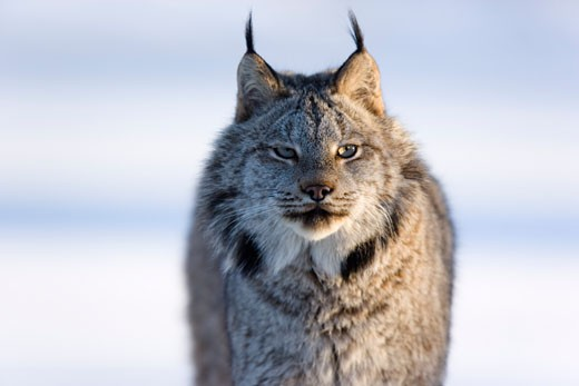 Stock Photo: 1828R-39036 Portrait of Lynx, Minnesota, USA