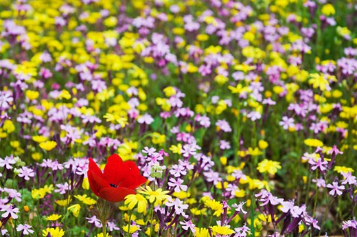 Stock Photo: 1828R-39435 Wildflowers in Meadow, Jordan