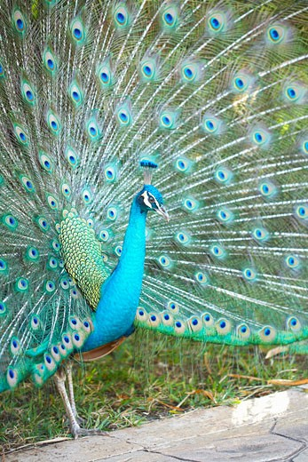 Stock Photo: 1828R-39592 Peacock, Mayan Riviera, Mexico