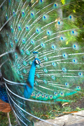 Stock Photo: 1828R-39593 Peacock, Mayan Riviera, Mexico