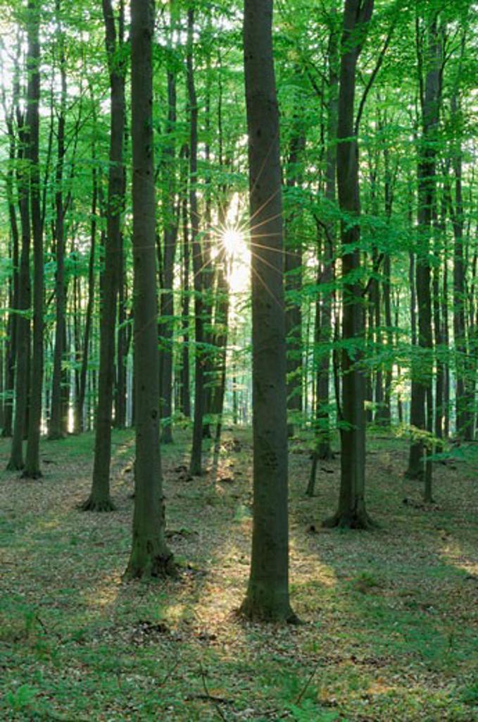 Forest in Springtime, Mecklenburg-Vorpommern, Germany    : Stock Photo