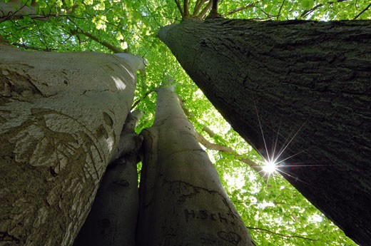 Low Angle View of Beech Trees    : Stock Photo