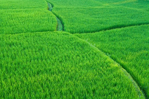 Stock Photo: 1828R-39773 Rice Fields Near Ubud, Bali, Indonesia