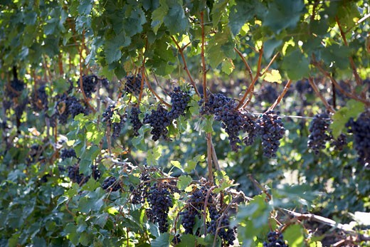 Close-up of Wine Grapes    : Stock Photo