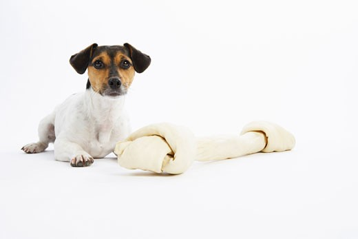 Stock Photo: 1828R-40076 Portrait of Dog with Large Rawhide Bone