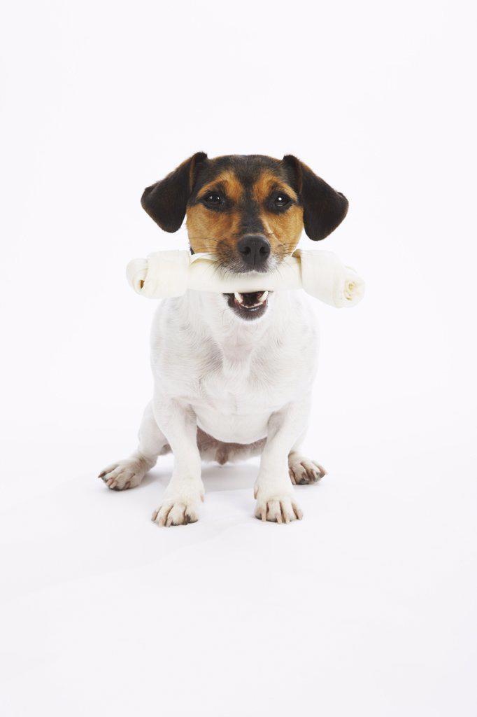 Dog with Rawhide Bone    : Stock Photo