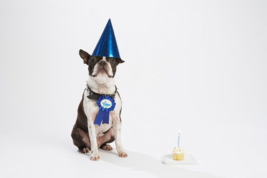 Dog with Prize Ribbon and Party Items    : Stock Photo
