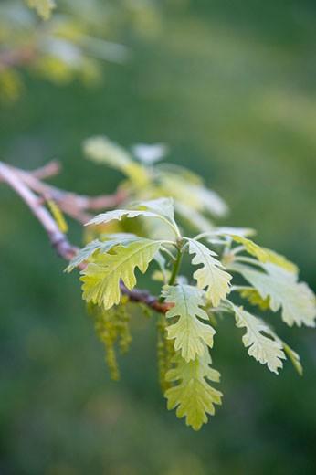 Close-up of Oak Tree, Toronto, Ontario, Canada    : Stock Photo