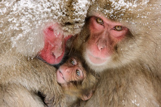 Japanese Macaques, Jigokudani Onsen, Nagano, Japan    : Stock Photo