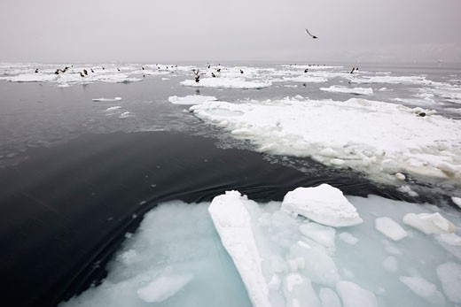Steller's Sea Eagles on Ice Floes Nemuro Channel, Shiretoko Peninsula, Hokkaido, Japan    : Stock Photo