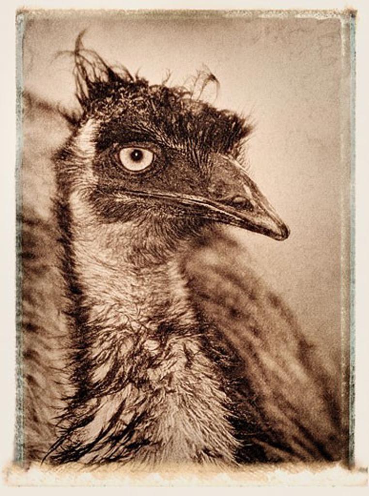 Stock Photo: 1828R-4052 Close-Up of Emu Queensland, Australia