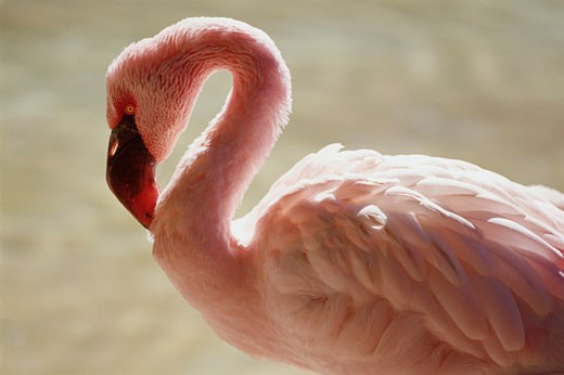 Stock Photo: 1828R-41012 Flamingo, San Diego Zoo, California, USA