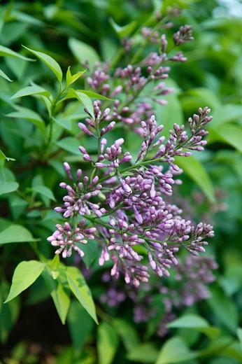 Lilac Tree, Toronto, Ontario, Canada    : Stock Photo