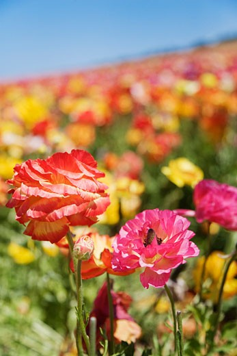 Stock Photo: 1828R-41546 Ranunculus Flower Fields, Carlsbad, San Diego, California