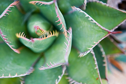 Butterfly Agave Plant    : Stock Photo