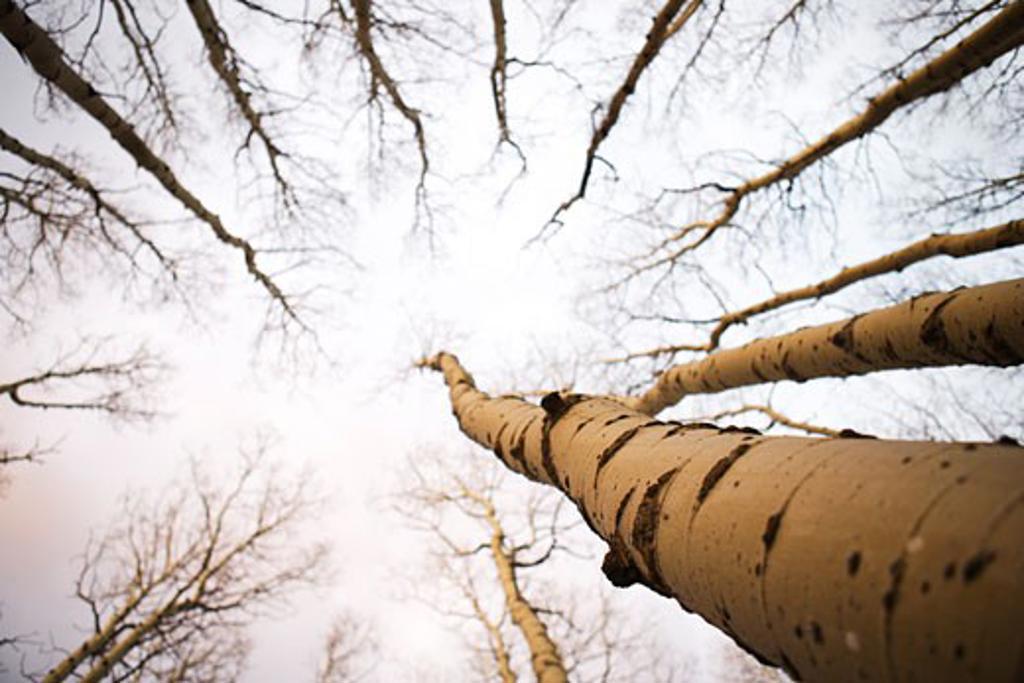 Bare Aspen Trees, Sangre de Cristo Mountains, Santa Fe, New Mexico, USA    : Stock Photo