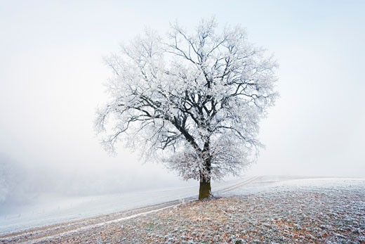 Frost Covered Tree, Bavaria, Germany    : Stock Photo