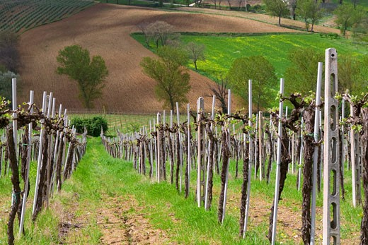 Vineyard, Umbria, Italy    : Stock Photo