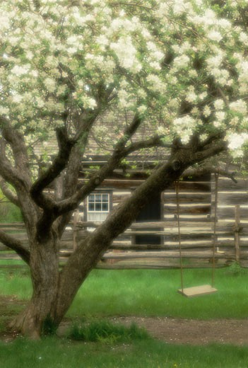 Stock Photo: 1828R-4224 Fence Behind Blossoming Apple Trees, Upper Canada Village Ontario, Canada