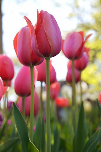 Pink Tulips    : Stock Photo