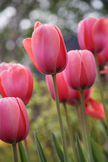 Pink Tulips    : Stock Photo