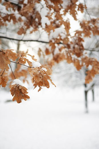 Stock Photo: 1828R-43130 Detail of Dead Leaves on Tree Branch in Winter