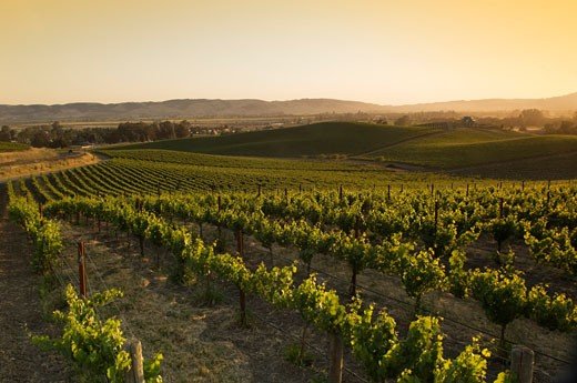 Stock Photo: 1828R-43241 Sunrise Over Vineyard, Napa Valley, California, USA