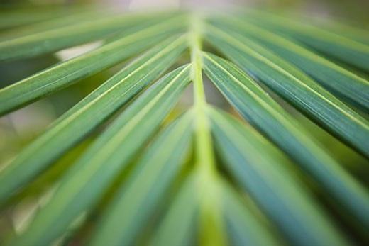 Stock Photo: 1828R-45221 Closeup of Palm Leaf
