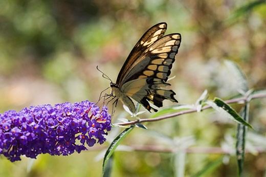 Stock Photo: 1828R-46411 Black Swallowtail Butterfly
