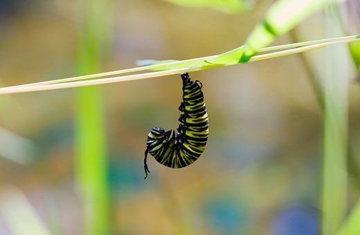 Stock Photo: 1828R-46417 Monarch Caterpillar