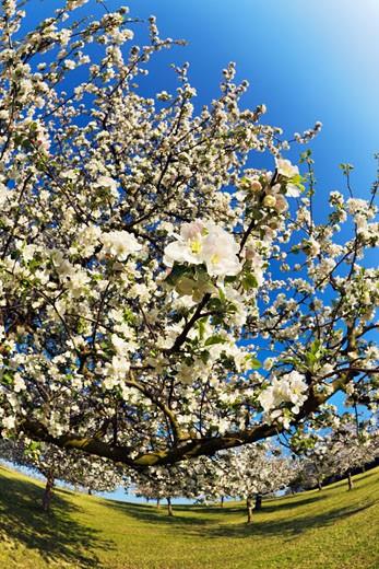 Stock Photo: 1828R-46442 Apple Orchard, Bischofszell, Thurgau, Switzerland