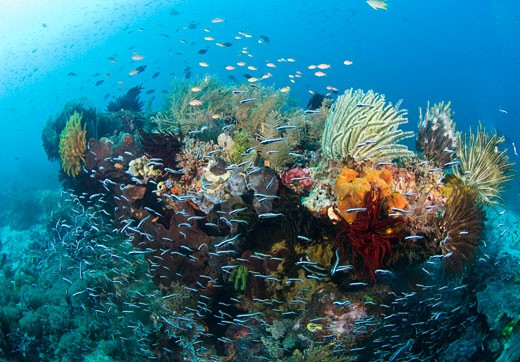 Coral Reef, Raja Ampat, West Papua, Indonesia    : Stock Photo