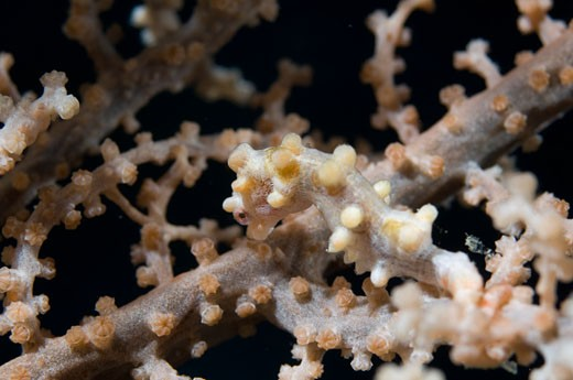 Stock Photo: 1828R-46609 Pygmy Seahorse, Raja Ampat, West Papua, Indonesia