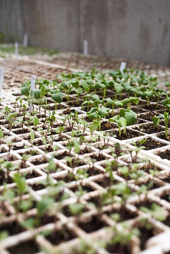 Stock Photo: 1828R-47168 Plants Sprouting in Trays